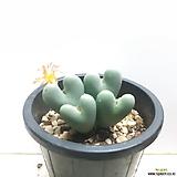 오동통한 ~축전 conophytum bilobum