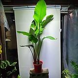 극락조 삼식이 공기정화식물 대품 319