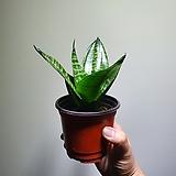 타이거산세베리아 공기정화식물  35