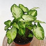 싱고니움 신고니움 공기정화식물 음지식물 실내식물 수경재배|