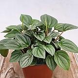 신품종 페페 나폴리나이트 실내식물|