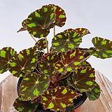 타이거베고니아 베고니아|Begonia