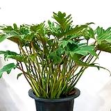 공기정화식물~셀륨 