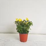 개나리자스민/공기정화식물/반려식물/온누리 꽃농원|