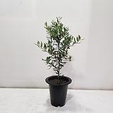 올리브나무 가지/공기정화식물/반려식물/온누리 꽃농원|