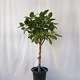벵갈고무나무 대품입니다  (포트제외 식물만 높이 125cm 내외)