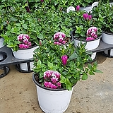 용담분홍색/용담중품/용담초|