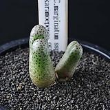 4023-C.marginatum ssp. karamoepense 955D 대형종  카라모에펜스2두|