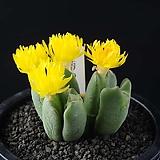 4039-Conophytum cv. 小菊の舞  소국의 무 6두|