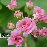앤틱로즈+송살구(제라늄2개)