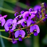 보라싸리(꽃대수형)