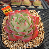 핑크크리스탈10-3420