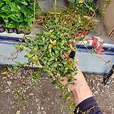 좀마삭 마삭 백화등 소품 묵은둥이 늘어지는식물 15~30CM