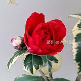 복륜무늬동백(외목꽃대수형/7)-동일품배송