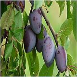 서양자두나무,푸른,푸룬(빅퍼플),접목1년특묘,같이가치농원