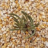 알스토니(적화|Avonia quinaria ssp Alstonii