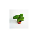 벵갈고무나무 실내공기정화식물|Ficus elastica
