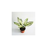 스노우사파이어 키우기쉬운식물|