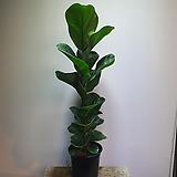떡갈고무나무 외목대 중품 79