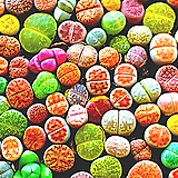 믹스리톱스씨앗(300립)-280여종이 섞여 있어요/리톱스씨앗|Lithops