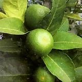 레몬나무~태국 
