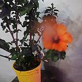 덴마크무궁화(주황색)|