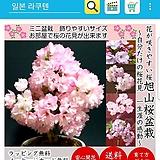 아사히야마1-벗나무 최고인기품-황홀