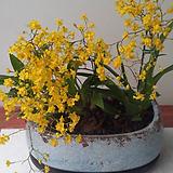 환타지아.향천(쵸코렛향).황조롱이.다시입고.노란색.색상예쁨.향이 진짜 좋습니다.상태굿.꽃대.~