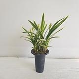 황제/동양난/공기정화식물/반려식물/온누리 꽃농원|
