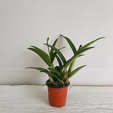 향카틀레아/공기정화식물/반려식물/온누리 꽃농원|