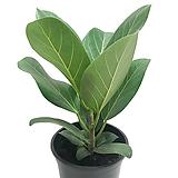 벵갈고무나무(무지/중품)|