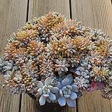 오렌지먼로 철화|Echeveria Monroe(Orange)