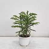 아라우카리아/공기정화식물/반려식물/온누리 꽃농원|