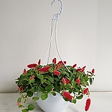 여우꼬리걸이/공기정화식물/반려식물/온누리 꽃농원|