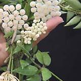 호야.룩타오(깨끗한 흰색).꽃색깔예뻐요.향기좋은향.아카사카향.인테리어효과.공기정화식물..잎도예뻐요.|