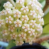 호야.파치클라다(아이보리.크림색별사탕모양꽃).꽃색깔예뻐요.잎모양도 예뻐요.향기좋은향.인테리어효과.공기정화식물.꽃눈있어요.|Hoya carnosa