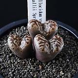 4046-C.pellucidum  springbok 스프링복3두|