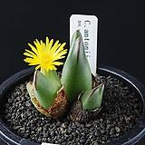 4051-Conophytum antonii SH.SN.  안토니3두|