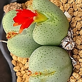 conophytum ssp|