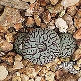 C. wittbergense ssp위트버젠스|Conophytum Wittebergense