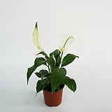 스파트필름 암모니아 아세톤제거 공기정화식물