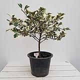 무늬하트고무나무3번(사진배송)|