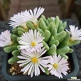 conophytum blandum|