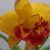 카틀레야.환타색에빨강립술.아주예쁜색.꽃대형종.향기좋은향.고급종.잘않나오는 품종.인기상품.꽃대.|