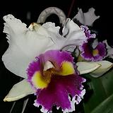 카틀레야.흰색에붉은색노랑색립프.꽃대형종.향기좋은향.고급종.잘않나오는 품종.인기상품.꽃대.|