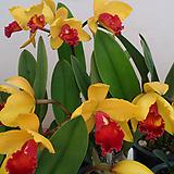 카틀레야.비너스.노랑색에 빨강색립프.꽃중형종.고급종.잘않나오는 품종.인기상품.꽃대.|