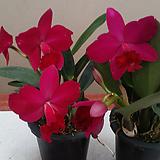 카틀레야 .은하수2(진한와인색).화려한색.꽃중형종.고급종.잘않나오는 품종.인기상품.꽃대.|