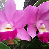 카틀레야 .미니퍼플.예쁜핑크색.화려한색.아주좋은향.꽃중형종.고급종.잘않나오는 품종.인기상품.꽃대.|