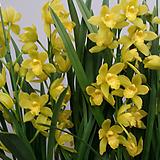 심비디움 켈리오카.다시입고.노랑색.꽃대2대.은은향기(아주좋은향).잎촉많은 상품.인기상품.상태굿.~|