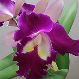 카틀레야.투톤와인진핑크.꽃색상환상.꽃대형종.향기좋은향.고급종.잘않나오는 품종.인기상품.꽃대.~|